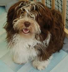 Small Picture 295 best Havanese images on Pinterest Animals Dog and Havanese