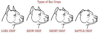 Pitbull Ear Crop Chart Types Of Ear Crops Og Dawgs Pinterest Dogs Your Dog