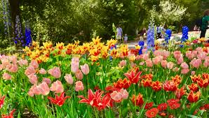 cch tulips 2