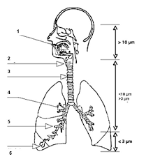2881 diagram of trachea to bronchioles car fuse box and wiring on the human respiratory system worksheet