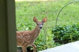how to keep deer out of your garden. Do You Live In The Country And Have Deer Eating Plants Out Of Your Garden? Sprinkle Hair Crush Egg Shells On Garden. Will Taste Bad To How Keep Garden
