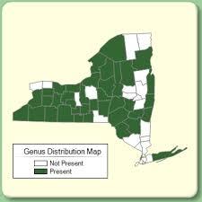 Milium - Genus Page - NYFA: New York Flora Atlas - NYFA: New ...