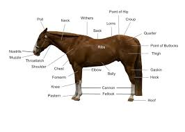 Conformation Of The Horse