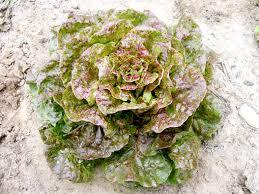 Speckled Bibb Bibb (Butterhead) Lettuce