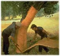 Image result for images of cork trees