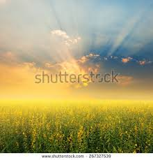 flower field sunset. Beautiful Yellow Flower Fields And Sunset For Background Field