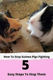 why do guinea pigs fight 5 easy steps