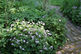 Image result for wild geranium