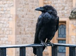 Queen raven' Merlina missing from Tower of London and feared dead | The  Independent
