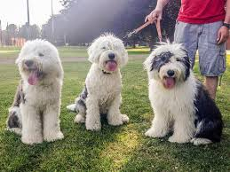 10 Reasons Why We Love Old English Sheepdogs — Animal Hearted Apparel