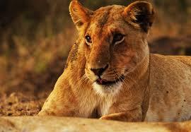 lioness. Contemporary Lioness Closeup Photo Of Lioness On Lioness O