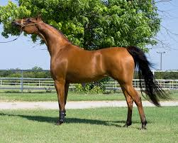 Horse Speed Index Chart Arabian Horse Wikipedia