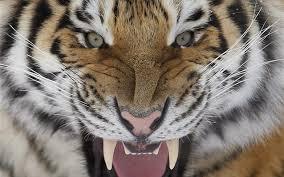 Αποτέλεσμα εικόνας για τιγρης