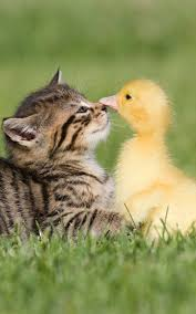 baby kitten and duck android wallpaper 1000x1600