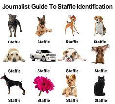 Staffy Colour Chart 27 Best Staffy Down Under Images Dogs Animals Pitbulls