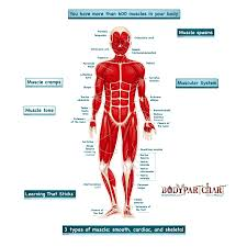 Simplified Muscular System Labeled Body Part Chart Removable Wall Graphic