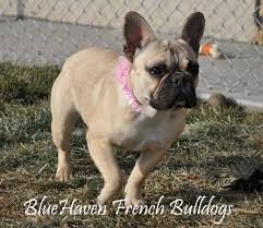 French Bulldog Color Chart What Colors And Color Patterns Do Frenchies Come In