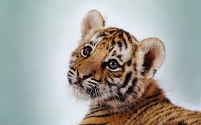cute baby tigers wallpapers. Plain Wallpapers On Cute Baby Tigers Wallpapers