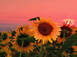 High resolution Sunflower hd 1120x832 ...