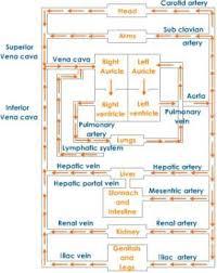Venous Blood Flow Chart Heart Blood Flow Path Blood Passes Through The Heart