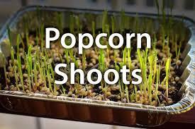 Growing Popcorn How To Grow Popcorn Shoots Hometalk