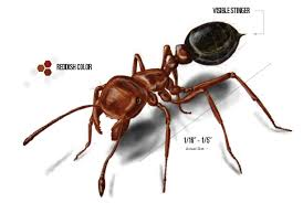 red fire ant control get rid of fire ants