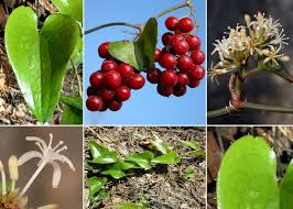 Smilax aspera L. - Portale sulla flora del Parco Nazionale dell ...