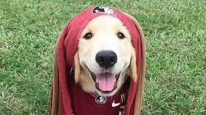 albino golden retriever.  Retriever Golden Retriever In A Florida State Jersey On Albino Golden Retriever