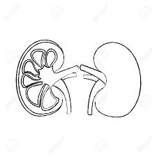 Human organs kidney anatomy medical icon vector illustration 95145024 human organs kidney anatomy medical icon vector illustration sketch design photo