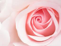 light pink rose flowers wallpaper. Standard On Light Pink Rose Flowers Wallpaper Wallpapers Wide