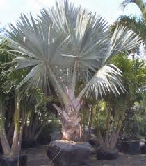 fan palm trees. bismarkia fan palm trees s