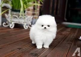 teacup pomeranian puppies for sale 250. Brilliant Sale Teacup Pomeranian For Sale In Kentucky Classifieds U0026 Buy And Sell   Americanlisted To Teacup Pomeranian Puppies For Sale 250