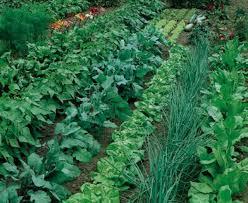 beautiful vegetable garden pictures