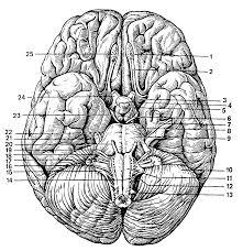 Реферат Головной мозг com Банк рефератов сочинений  Головной мозг