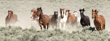 wild horses mustang running.  Mustang WildHorsesRunningMustangMonumentcAaronMillar Wild Horses  Inside Horses Mustang Running N