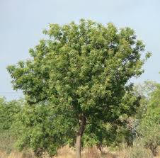 introduction to neem tree neem foundation neem tree