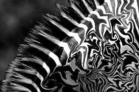 Zebra Patterns Extraordinary Zebra Patterns No 48 Photo Dan Greenberg Photos At Pbase