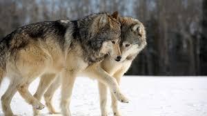волк и волчица любовь фото