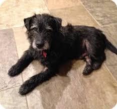 scottish terrier mix. Plain Terrier Visit With Scottish Terrier Mix