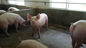 Bester Expositionsweg zur Akklimatisierung von Jungsauen an M hyo - Artikel  - 3drei3.de, Alles über Schweine