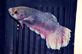 petco betta fish. Perfect Petco DSC_0925 On Petco Betta Fish
