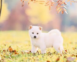 shibe wallpaper. Perfect Wallpaper White Shiba Inu Wallpaper Photos With Shibe Y