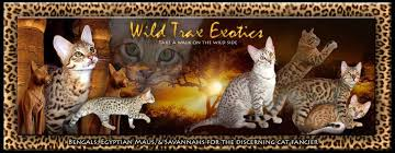 bengals egyptian maus and savannah kittens for by wild trax exotics