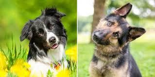 Border Collie German Shepherd Mix The Worlds Best Family Dog