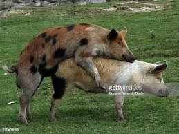 71 Pigs Sex Photos and Premium High Res Pictures - Getty Images