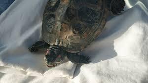 Житель Горелово выловил из пруда <b>черепаху</b> с переохлаждением