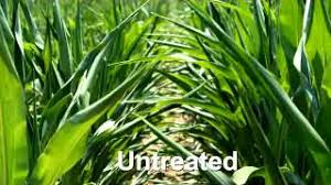 Quilt Xcel Fungicide Early Benefits in Corn - YouTube &  Adamdwight.com