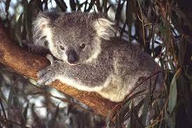 Топик Коала дикие животные Австралии ru the project about a koala