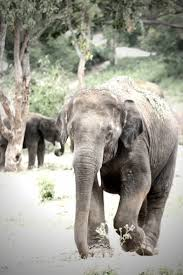 ideas on raymond carver s elephant picture of an elephant for the article ideas on raymond carver s elephant