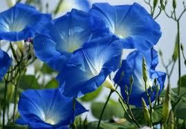 """Képtalálat a következőre: """"kék virág"""""""